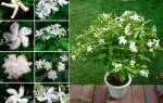 Комнатный цветок табермонтана