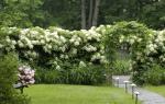 Почему бледные листья у гортензии