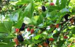 Выращивание шелковицы в средней полосе России