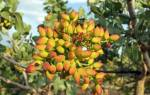 Как вырастить фисташковое дерево?