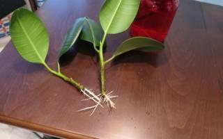 Как размножить фикус крупнолистный