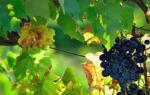 Мускатные сорта винограда для юга России