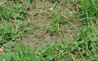 Двудольные сорняки – двойной вред огороду