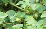 Как вырастить физалис из семян на даче?