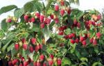 Саженцы малины Таруса древовидная малиновое дерево