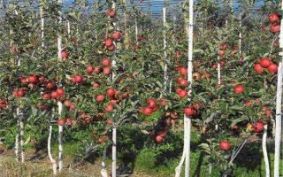 Посадка яблонь осенью расстояние между саженцами