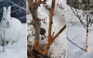 Защита саженцев от грызунов зимой
