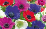 Цветы клубневые комнатные
