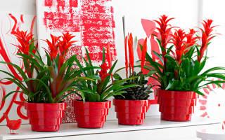 Цветы комнатные красные