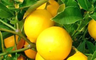 Как ухаживать за саженцами лимона дома?