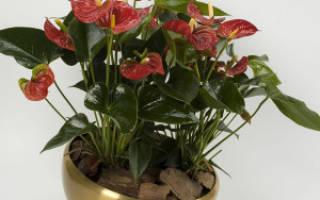 Красный антуриум цветок