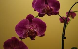 Как размножить орхидею в домашних условиях черенками