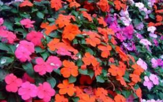 Садовый бальзамин уход в домашних условиях