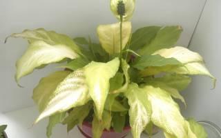Почему у спатифиллума бледные листья