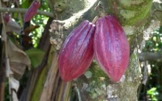 Как растет шоколадное дерево?
