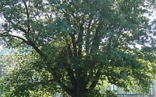 Дубоклен что за дерево?