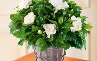 Цветок гардения комнатная как ухаживать