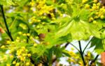 Деревья медоносы средней полосы