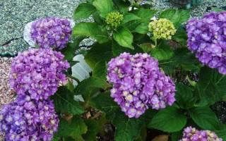 Крупнолистная гортензия цветущая на побегах текущего года