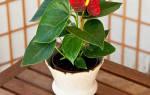 Как пересадить антуриум если он цветет