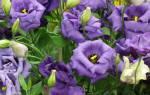 Цветок эустома комнатное растение или садовое