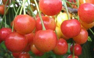 Как правильно посадить саженец черешни осенью?
