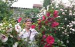 Как посадить гибискус на даче?