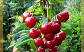 Самоплодные сорта вишни для средней полосы