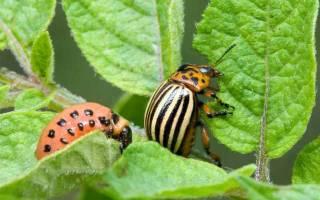 Народные средства от колорадского жука – боремся с вредителями