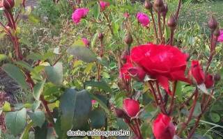 Где посадить розы на даче?