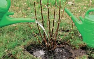 Сроки посадки смородины осенью в средней полосе