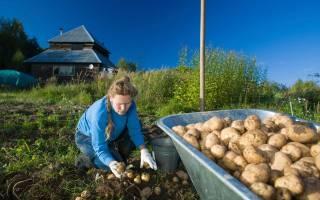 Удобрения для картофеля – учимся питать грядку безопасно